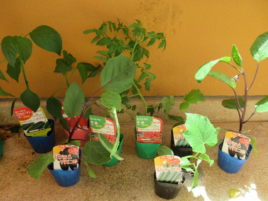野菜の苗植え🍅
